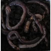 Würmer und Maden